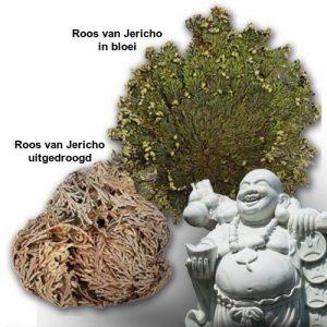 roos-van-jericho