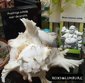 Murex ramosus schelp